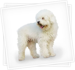 caniche_french_poodle_toy